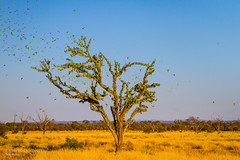 IMG_0281.jpg (Paul Williams www.IronAmmonitePhotography.com) Tags: bird budgerigar summer murmuration dryseason melopsittacusundulatus australia