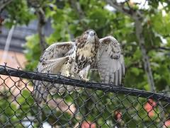 Stretch (Goggla) Tags: nyc new york manhattan east village tompkins square park urban wildlife bird raptor red tail hawk fledgling juvenile stretch eternity