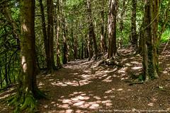 Hughenden_DSC5954 (Nick Woods Photography) Tags: trees sunlight tree forest woods nt bark treebark nationaltrust forestfloor bucks sunbeams hughenden treetrunks dappledsunlight hughendenmanor germanwoods