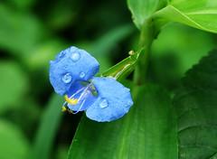 Small flower (radhkrishna) Tags: flowers flower green nature kerala raindrops waterdrops