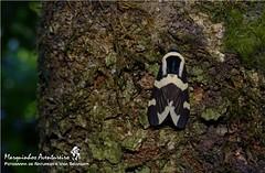 Mariposa - Viviennea dolens (Erebidae: Phaegopterini) (Marquinhos Aventureiro) Tags: brazil brasil wildlife natureza moth vida serra mariposa floresta canastra selvagem serradacanastra erebidae phaegopterini dolens viviennea hx400 marquinhosaventureiro