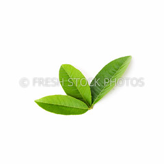Collection of fresh green young lemon leaves isolated (freshstockphoto) Tags: aroma aromatic asian background citron citrus close closeup collection color cut design detail fresh fruit grapefruit green grenadine herb ingredient isolated leaf leave lemon lime macro mandarin natural nature one orange organic pattern plant pomegranate raw refreshment set studio tangerine texture top tree tropical up vegetarian vietnam view white young