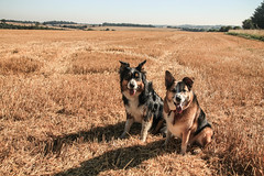 As We Walked in Fields of Gold - MK. 2 (sharongellyroo) Tags: summer suffolk boris bordercollie ki colliecross glemsford gellywalk