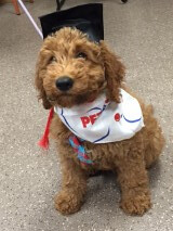 Recent graduate Archie!  He is one of Molly Dee and Chewy II's boys!