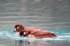 Harlequin Ducks (Patricia Henschen) Tags: canada nationalpark banff alberta morainelake glacial lake reflections rockies northern rockymountains mountains harlequinducks ducks