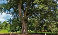 """Chestnut-Leaved"" Oak. Kews Fastest Growing Tree. (standhisround) Tags: trees tree nature royalbotanicalgardens kewgardens kew 1846 london uk chestnutleavedoak iran"