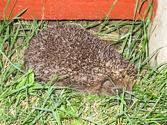 Another nocturnal visitor!  (Kay Bea Chisholm) Tags: mrstiggywinkle prickles smaller omnivore grass wildlife garden visitor nocturnal hedgehog