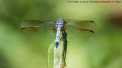 Male Blue Dasher (P8072708-Edit) (Michael.Lee.Pics.NYC) Tags: newyork nybg newyorkbotanicalgarden nativeplantgarden bluedasher dragonfly insect perch wings bokeh blend composite olympus em5 markii mkii lumix100300mm