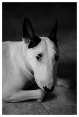 Signore, lasciami essere met delluomo che il mio cane pensa io sia.  (Anonimo) (MB ) Tags: dog dogs bullterrier bull blackandwhite black white animals animal animali cane can portrait ritratto amicizia sguardo occhi occhio eyes eye beautiful