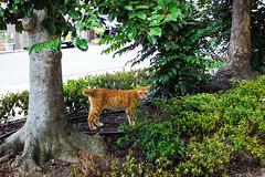Today's Cat@2016-08-10 (masatsu) Tags: cat catspotting thebiggestgroupwithonlycats pentax mx1