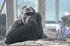 Contact (Pics4life.nl off and on next week) Tags: summer zoo dierentuin zomer ouwehandsdierenpark nederland aap gorilla animal dier dinner eten eat woman rope sunglass