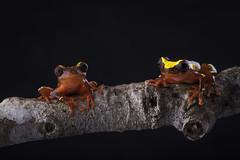 Dendropsophus sarayacuensis (sebastiandido) Tags: dendropsophus sarayacuensis colombia frog d810 nikon rana 105mm macro flash naturaleza amazon leticia tanimboca red anfibio photographyday photography biodiversity herpetography herpetology biodiversidad rainforest amazonia wildlife