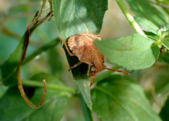 Consperse Stink Bug Nymph Euschistus conspersus (bugldy99) Tags: insect bug stinkbug hemiptera animal nature outdoors nymph insecta hexapod hexapoda arthropod arthropoda