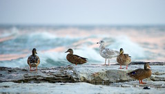 Chillin' (imageClear) Tags: gull birds ducks mallard herringgull nature northpoint sheboygan wisconsin softlight diffusedlight waves lakemichigan aperture nikon d600 80400mm beauty color lovely imageclear flickr photostream