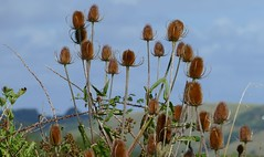 Teasels Durlston CP Dorset -110916 (ailognom2005-Catching up slowly.) Tags: flora flowerstrees florafauna teasels durstoncountrypark swanage dorset dipsacusfullonum seedheads macro