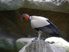 P2230463 (Gareth's Pix) Tags: aviarionacionaldecolombia baru colombia aviario bird