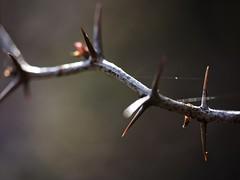 (photo ephemera) Tags: shrub thorn barberry photoephemera y4304947