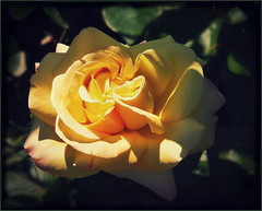Peace in the garden (MissyPenny) Tags: flower rose yellow garden peace rosegarden peacerose bristolpennsylvania