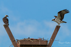 Osprey couple resting by their nest