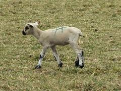 Where's Mama? (jimsawthat) Tags: colorado pasture lamb livestock montrosecolorado