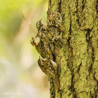 Brown creeper and fledglings