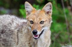 Jackal Closeup (DSC_8617) (Param-Roving-Photog) Tags: closeup forest golden jackal wildlife jungle common kumaon uttarakhand munsiyari