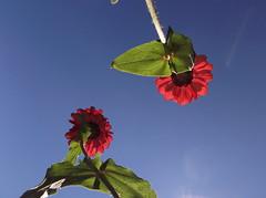 Olhando de baixo (Claudia Mendes2015) Tags: flores planta flora plantas flor