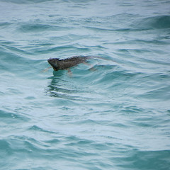 Iggy paddle (goatling) Tags: island reptile lizard iguana tropical tropic caribbean cayman grandcayman westbay britishwestindies gcm201506 201506gcm