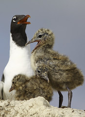 Laughing Gull Family 9107 (Nature Photos by Scott) Tags: wild baby cute sexy bird nature beautiful birds laughing cool erotic nest florida wildlife gull gulls birding babybird mothernature nesting naturephotography scotthelfrich scotthelfrichphotography