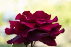 bwp9 (farukb) Tags: park flowers summer macro garden 50mm walled brockwell