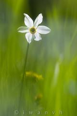 Narcissus poeticus (iwanvh) Tags: flowers art nature fleurs flora artist photographer flore biodiversity iwan photographe naturalist naturaliste lozre environement iwanvh vanhoogmoed wwwiwanvhcom