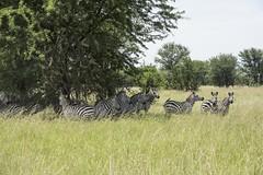zebras in the shade (charlesgyoung) Tags: africa tanzania nikon safari zebra d3 serengetinationalpark wildlifephotography charlesyoung nikonfx nomadtanzania karineaignerphotographyexpedition