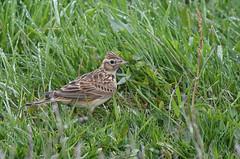 Skylark among the wet grass (Tim Melling) Tags: peak district rain skylark alaudaarvensis timmelling