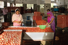 Workers Washing Tomatoes (IFPRI-IMAGES) Tags: india plant fruit tomato foods shimla corn village farm small farming grain cereal grow vegetable health farms produce farmer agriculture yield process processed development maize prep cannery cultivation agricultural prepare sustainable pulses nutrition southasia massproduction manoli haryana shuck patiala farmtotable pratibha sonipat smallfarms foodsecurity agriculturaldevelopment foodprocessingplant farmtofork micronutrients kundli ifpri csisa