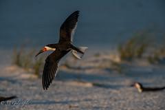 Rynchops niger (Guldenfels-photos) Tags: rynchops niger bec en ciseaux noir florida sea bird oiseau