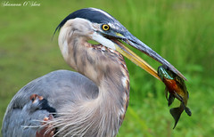 """My eyes are bigger than my stomach."" (Shannon Rose O'Shea) Tags: shannonroseoshea shannonosheawildlifephotography shannonoshea greatblueheron heron beak feathers yelloweye fish fishing blue bluegill green wildwoodlake harrisburg pennsylvania wildwoodpark nature wildlife waterfowl flickr wwwflickrcomphotosshannonroseoshea canon canoneosrebelt6i canon100400mm14556lis canont6i canoneost6i canonrebelt6i eosrebelt6i eost6i rebelt6i t6i bird canal"