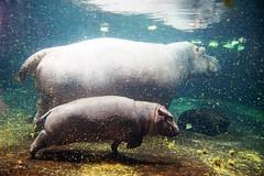 Flusspferd Mama und Kind (ingrid eulenfan) Tags: baby animal zoo wasser hannover kind hippo mutter tier nilpferd unterwasser flusspferd sugetier