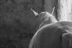 Hven (feldweg) Tags: horse caballo cheval cavallo blanc pferd hest kon schimmel fliegenschimmel hven guthven