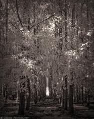 Path Through The Trees (mjardeen) Tags: macphun tonalitypro 720nm ir infrared bw b2 black white blackandwhite contrast woods trees leaves tunnel light dark foreboding shadows converted lifepixel mamiyasekor55mm18sx mamiya sekor 55mm 18 sx outdoor monochrome