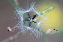Geometrie in der Natur - Natural Geometry (ralfkai41) Tags: geometrical fnfeck pentagramm blossom flower blume wald makro seeds plant macro form geometrisch geometricshape samen pentagon pflanze