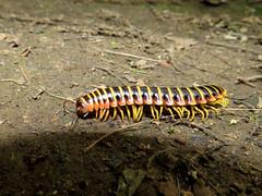 Millipede (White Clay Creek Preserve) (stinkenroboter) Tags: millipede apheloriavirginiensis whiteclaycreekpreserve