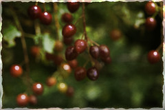 160731_023 copy (MiFleur...Thank You for 2 Million Views) Tags: berries artistic overlay red baies fruits plantes nature bokeh