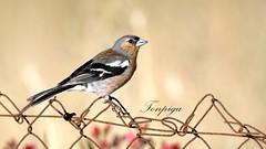 fringuello (Tonpiga) Tags: fringillacoelebs fringuello faunaselvatica tonpiga uccelliinlibert