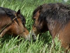 Semi wild exmoor ponies close to Hiempenser Wielen, Leeuwarden (Alta alatis patent) Tags: pony noses greeting greet leeuwarden exmoor semiwild hiempenserwielen