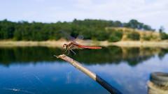 Dragonfly 6 (pozzhe) Tags: odonata lake dragonfly insects redveineddarter sympetrumfonscolombii crimea