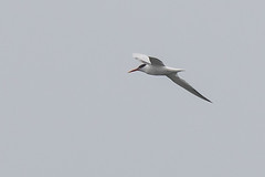 Elegant Tern (J.B. Churchill) Tags: birds ca california elte eleganttern gullsterns places sandiego sunsetcliffs taxonomy unitedstates us