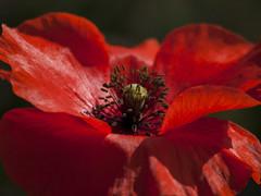 Frou frou **--- ---- (Titole) Tags: poppy heart pistil stamen petals red titole nicolefaton closeup unanimouswinner thechallengefactory friendlychallenges challengegamewinner