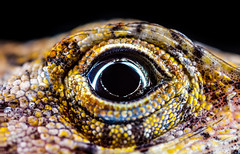 2016-07-11 23-33-37 (B,Radius50,Smoothing9)-Edit (Boy of the Forest) Tags: usa macro eye composite america canon us unitedstates skin florida head reptile wildlife unitedstatesofamerica small stack lizard scales tiny northamerica anole fl nissin reptilia anolis dsr minuscule brownanole mpe65 focusstack dadecity anolissagrei 50megapixels 50mp macroflash mpe65mmf2815x mf18 nissinmf18 nissinmf18macroringflash canon5dsr 5dsr