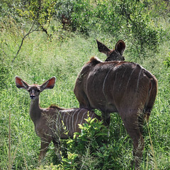 all ears (gil walker) Tags: kudu krugerpark