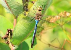 common green darner male at Cardinal Marsh IA 854A3111 (lreis_naturalist) Tags: county male green cardinal dragonfly reis iowa larry marsh common darner winneshiek
